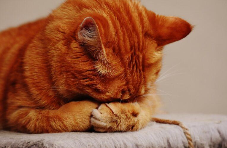 Hvad er det rigtige kattefoder til din kat?
